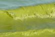 جلبک دریا