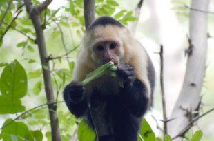 میمون حشره خوار