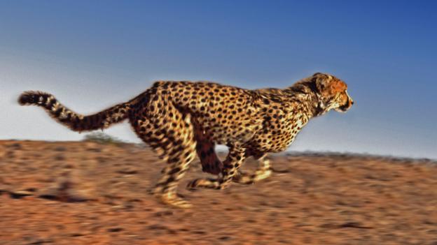 چیتا یوزپلنگ آسیایی ۲