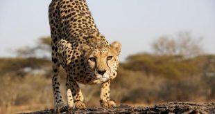 ۵ حقیقت در مورد چیتا ها