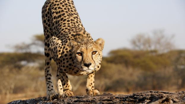 چیتا یوزپلنگ آسیایی